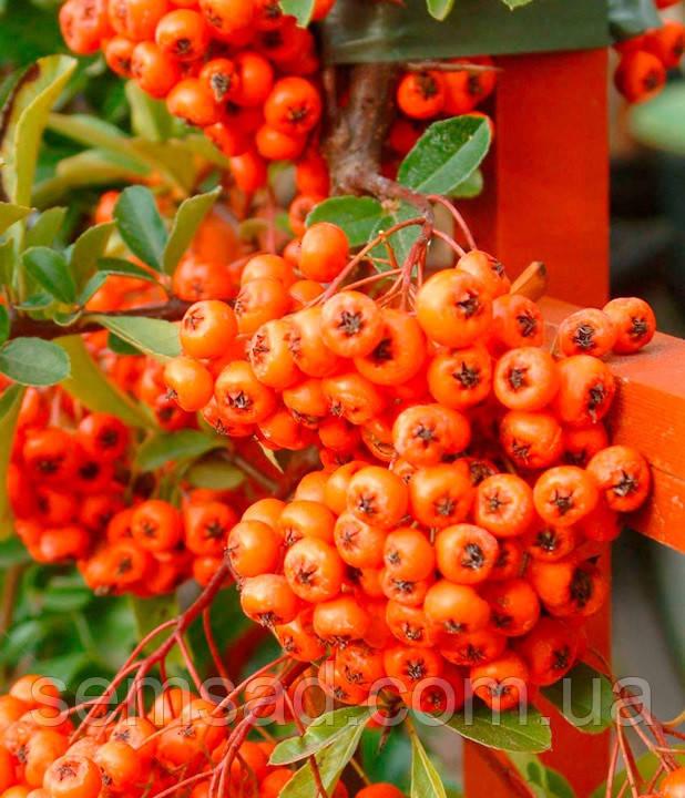 Пираканта Оранж Глоу \ Pyracantha 'Orange Glow' ( саженцы 2 года)