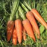 Курода Шантанэ / Kuroda Shantanu – Морковь, Sakata. 250 грамм семян, фото 2