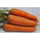 Курода Шантанэ / Kuroda Shantanu – Морковь, Sakata. 250 грамм семян, фото 3