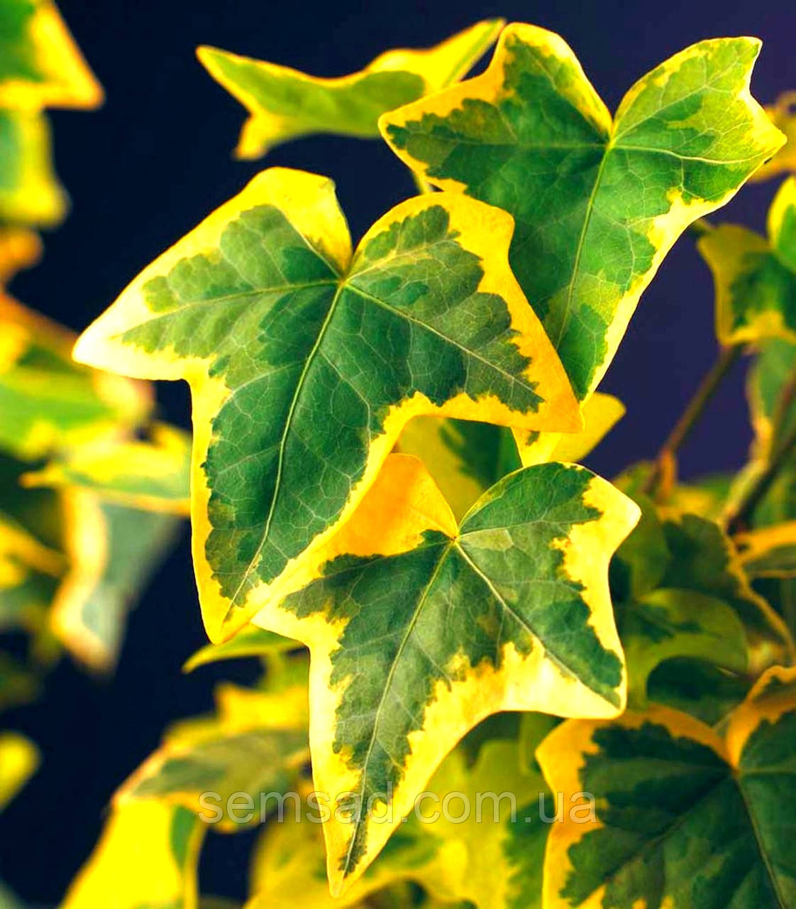 "Плющ садовый вечнозеленый "" Голд Чалд"" ( саженцы 1 год)"