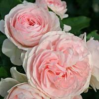 Роза флорибунда Лариса