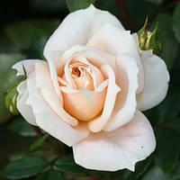 Роза флорибунда Лайонз роуз (Lions Rose)