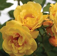 Роза чайно-гибридная Автодрим