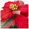 IKEA, ВИНТЕРФЕСТ, Искусственное растение в горшке, пуансеттия красное, 9 см, (604.291.26), фото 3
