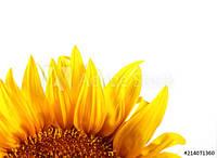 Насіння соняшника АС 34110 | AS34110 Aspria