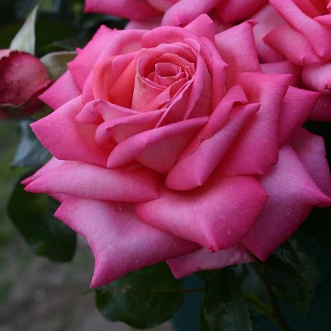 Троянди чайно-гібридна Веддинг Белз