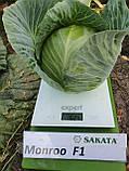 Монро F1 / Monro F1 - Капуста белокочанная, Sakata. 1000 семян, фото 5