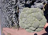 Партенон F1 / Parthenon F1 - Капуста броколі, Sakata. 1000 насінин, фото 5