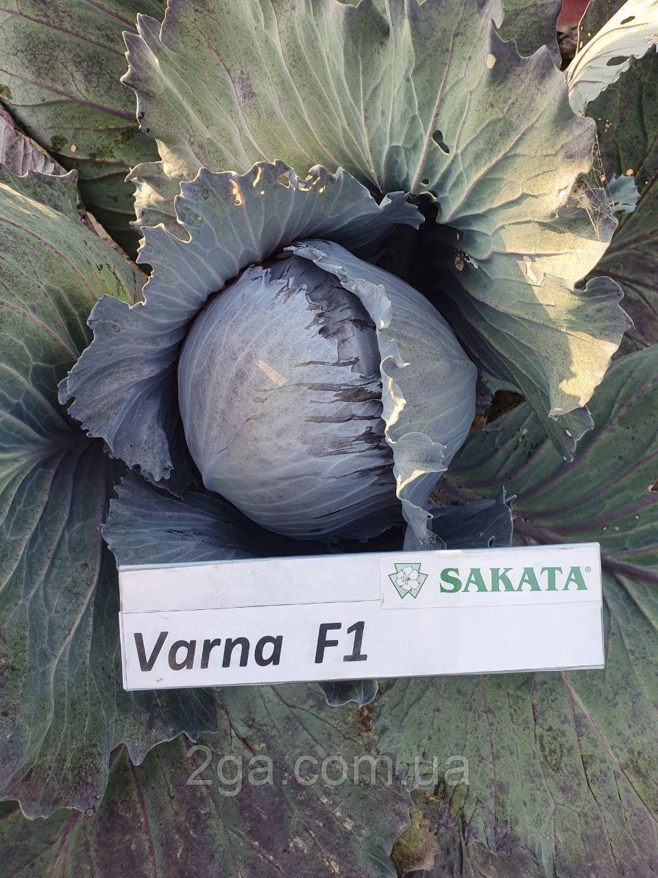 Варна F1 / Varna F1 - Капуста краснокочанная, Sakata. 1000 семян