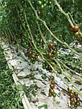 Криспина Плюм F1 / Crispina Plum F1 - Томат черри, Esasem. 250 семян, фото 4