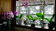 Можно ли часто поливать орхидеи и как соблюдать режим полива цветка