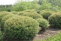 "Ива пурпурная ""Нана"" | Верба пурпурова 'Нана' | Salix purpurea 'Nana' (ЗКС; контейнер 0,7л)"