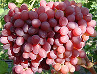 Кишмиш ВЕЛЕС, саженцы винограда бессемянного