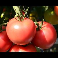 Пинк Джаз F1 / Pink Jazz F1 - розовый томат. Hazera. 500 семян