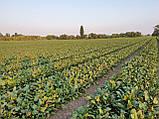 Кардиал F1 / Kardeal F1 - Свекла, Sakata. 50 000 семян, фото 9