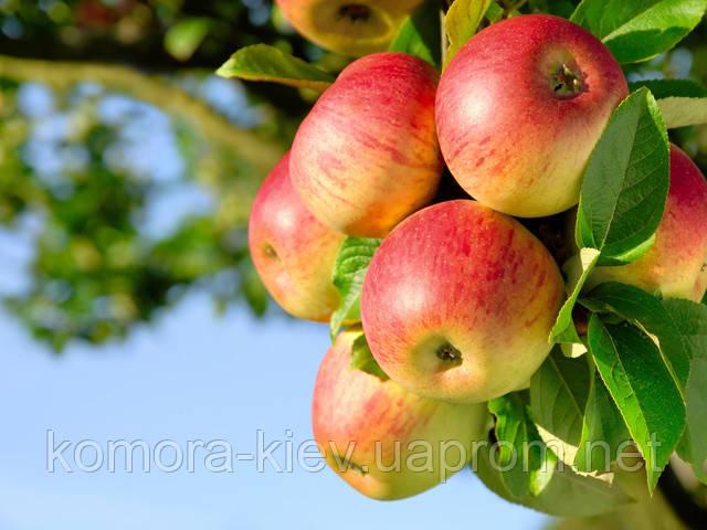 Яблоко ветка