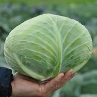 Гибрид белокачанной капусты Джинтама F1,Идеальный для квашения, семена капусты Rijk Zwaan 2 500 семян (калибр)