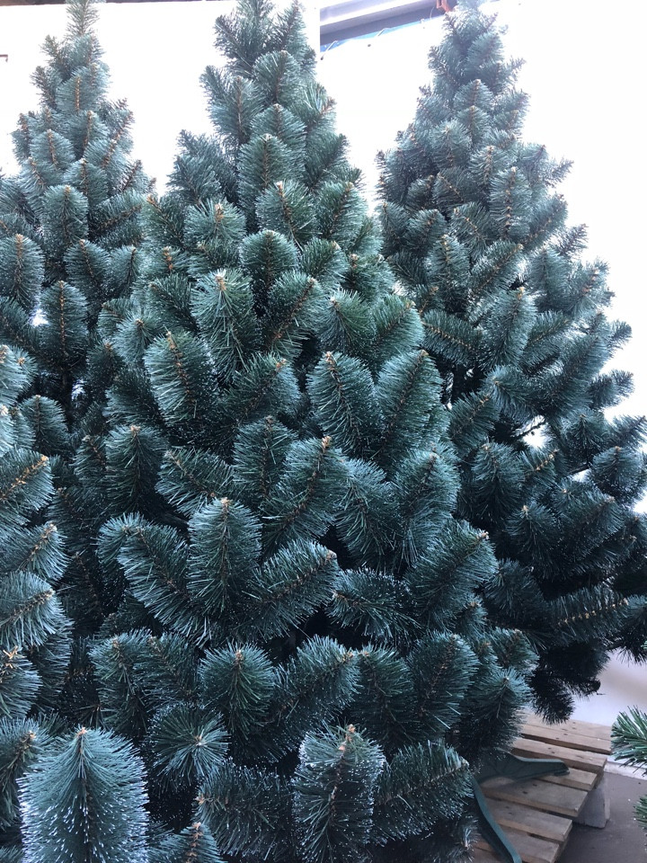 Сосна зеленая с белыми кончиками 1.5 м