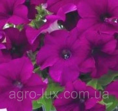 Петуния Саксесс (аладдин) F1 пурпуровая  500шт  Benary