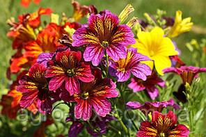 Семена цветов сальпиглоссиса Либра смесь 100 драже