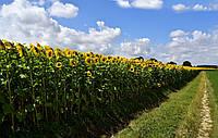 Семена подсолнечника Акрон (под Гранстар), Seed Grain Company