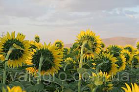 Семена подсолнечника Торсун Seed Grain Company