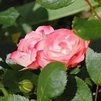 Роза миниатюрная Пат Де Велюр (Patte de Velours)