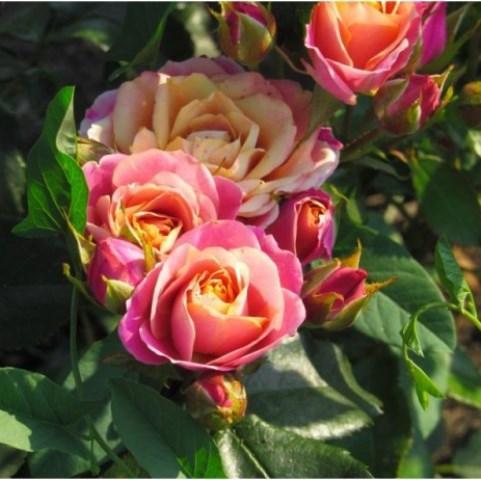 Роза чайно-гибридная Сонора