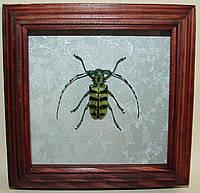 Сувенир - Жук в рамке Anoplophora birmanica f. Оригинальный и неповторимый подарок!, фото 1