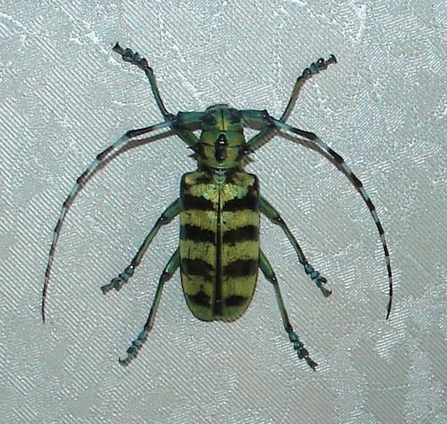 Anoplophora birmanica  f