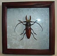 Сувенир - Жук в рамке Callipogon barbatus. Оригинальный и неповторимый подарок!, фото 1