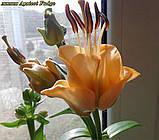 Лилия Apricot Fudge (Эйприкот Фадж) супер новинка от 10шт, фото 2