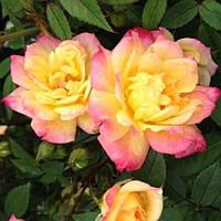 Троянда мініатюрна Триколор