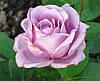 Роза Блу Мун. Голубая роза (условно). Ч/г.