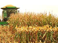Результаты урожая 2019. Кукуруза WOODSTOCK.