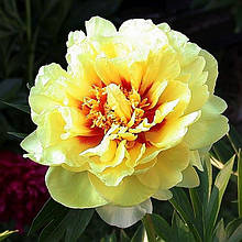 Півонія Itoh Bartzella - найкращий у світі жовтий