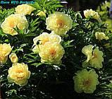 Півонія Itoh Bartzella - найкращий у світі жовтий, фото 3