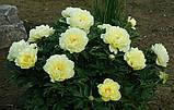 Півонія Itoh Bartzella - найкращий у світі жовтий, фото 4