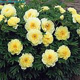 Півонія Itoh Bartzella - найкращий у світі жовтий, фото 5