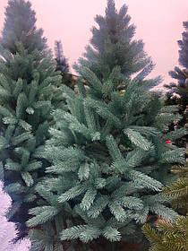 Ялинка Лита Буковельська 2.5 м блакитна / зелена