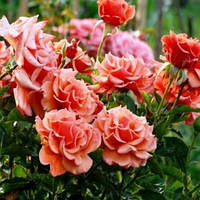 Роза флорибунда Энн Хендерсон