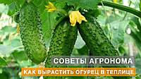 Технология выращивания огурцов | Советы агронома