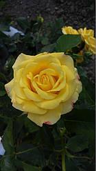 Роза Мальта