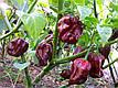 Перец Хабанеро шоколадный, 8 шт, Садыба Центр, фото 4