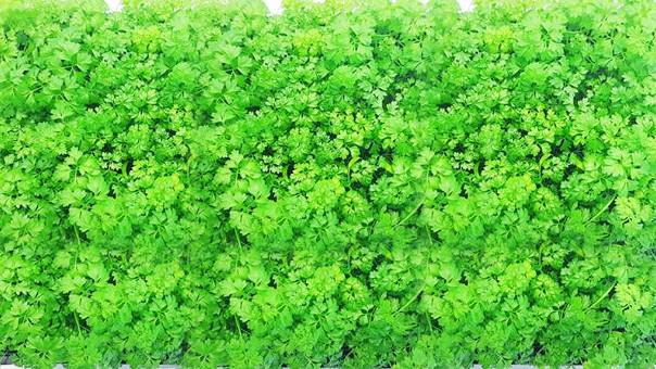 Семена кервеля для микрозелени