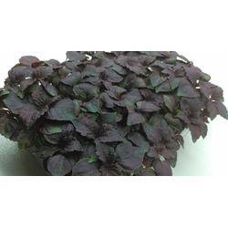 Семена периллы овощной Шисо микрозелень