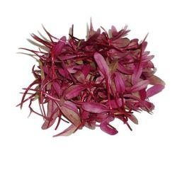 Семена монгольда красного микрозелень