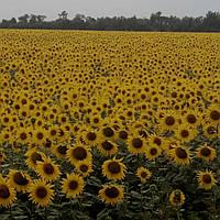 Семена подсолнуха ЯСОН  (стандарт)/насіння соняшника Ясон