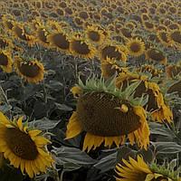 Семена подсолнуха ФОРВАРД  (стандарт)/насіння соняшника Форвард