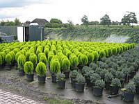 Посадочный материал, хвойные и лиственные растения оптом из Голландии, Киев